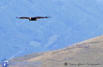 Aquila Reale in volo sopra un gregge di pecore