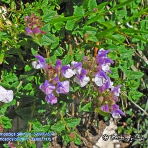 Scutellaria alpina - Labiate