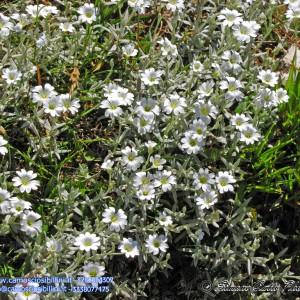 Cerastium tomentosum - Cariofillacee