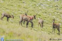 Escursione al Camoscio – Caccia Fotografica al Camoscio nei Sibillini – 30 06 2013