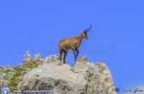 Iniziata la Reintroduzione del Camoscio d'Abruzzo anche nel Parco del Velino