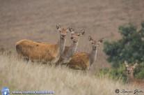 i Cervi di Frontignano 2013 –  le foto