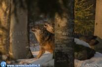 Un giorno con i lupi…