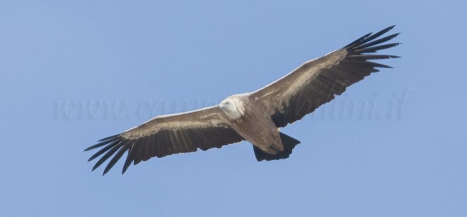 Gli avvoltoi grifoni nei Sibillini