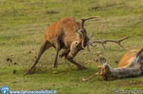 Cervi in combattimento