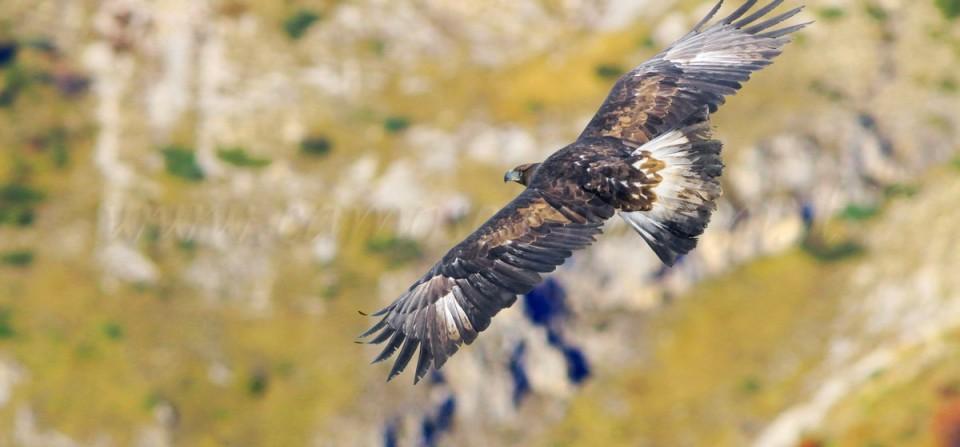 Aquila reale nei Sibillini