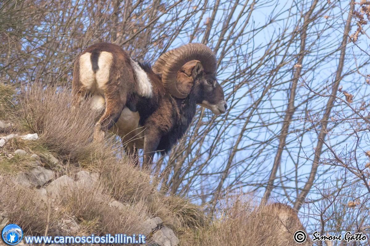 I Mufloni del Monte Catria