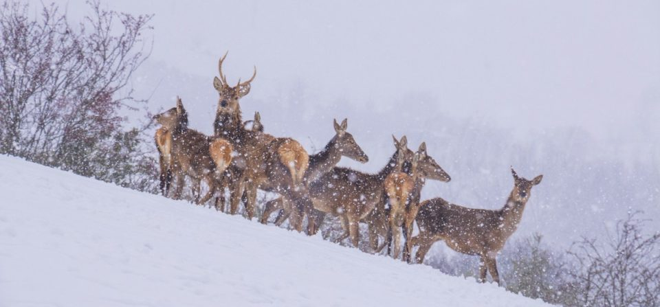 I cervi dei Sibillini sotto la fitta nevicata