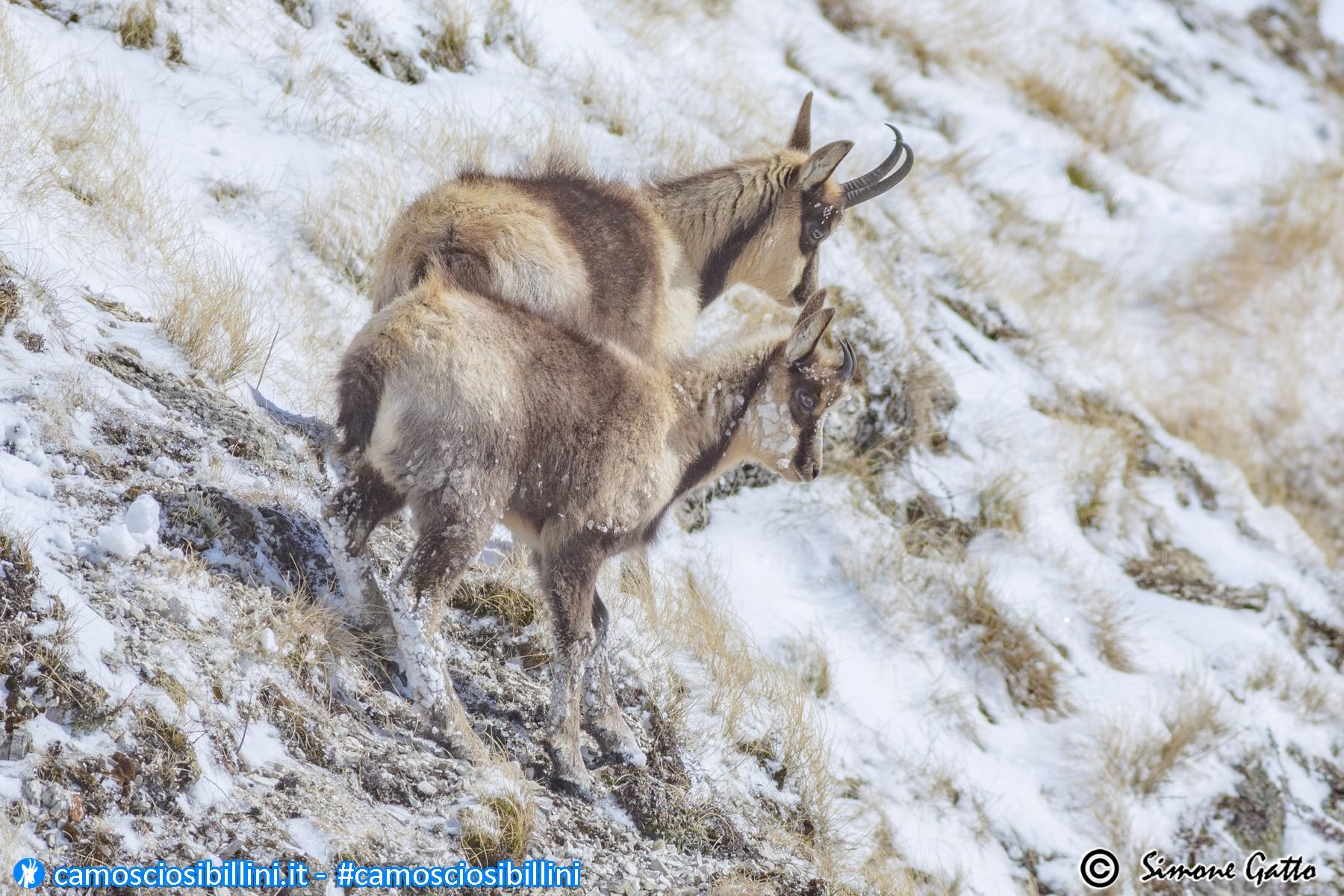 Camosci on the snow